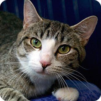 Domestic Shorthair Cat for adoption in Calgary, Alberta - Cordelia