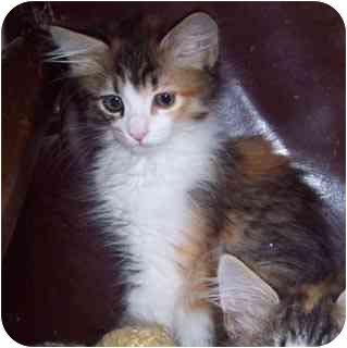 Domestic Mediumhair Kitten for adoption in Sacramento, California - Elle