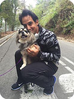 Cavalier King Charles Spaniel/Shih Tzu Mix Dog for adoption in West LA, California - Hudson