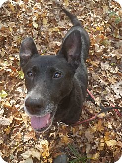 German Shepherd Dog/Labrador Retriever Mix Dog for adoption in Louisville, Kentucky - Charity