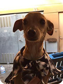 Chihuahua Mix Dog for adoption in Westminster, California - Patrick