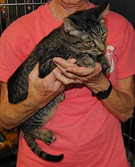 Domestic Shorthair Cat for adoption in Parsons, Kansas - Barney