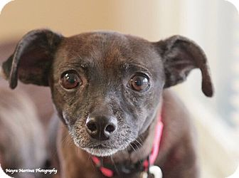 Dachshund/Chihuahua Mix Dog for adoption in Chattanooga, Tennessee - Smokey