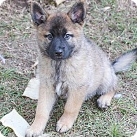 German Shepherd Dog Mix Puppy for adoption in Pipe Creed, Texas - Misha's Pups