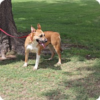 Pit Bull Terrier Mix Dog for adoption in Odessa, Texas - A28 Shayla