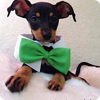Adopt A Pet :: Wyatt - Monrovia, CA