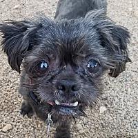 Shih Tzu Dog for adoption in Apple Valley, Utah - Owen