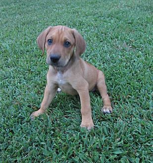 Labrador Retriever/Hound (Unknown Type) Mix Puppy for adoption in Plainfield, Connecticut - James