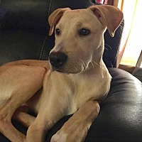 Adopt A Pet :: Chewie - Austin, TX