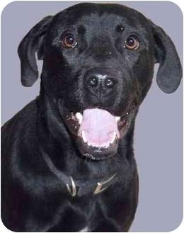 Labrador Retriever Mix Dog for adoption in Grass Valley, California - Chance