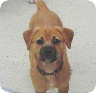 Corgi/Terrier (Unknown Type, Medium) Mix Puppy for adoption in Pittsboro/Durham, North Carolina - Jackson