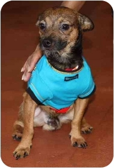 Chihuahua Mix Dog for adoption in Coral Springs, Florida - Tony