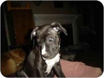 American Pit Bull Terrier/American Pit Bull Terrier Mix Puppy for adoption in Flint, Michigan - COWBOY