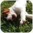 Photo 3 - American Bulldog Mix Puppy for adoption in Ladson, South Carolina - ZIVA