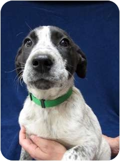 Pointer/Australian Cattle Dog Mix Puppy for adoption in Westminster, Colorado - CODY