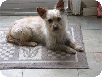 Cairn Terrier Mix Dog for adoption in Simi Valley, California - Georgia