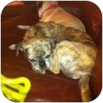 Pug Dog for adoption in Windermere, Florida - Roxie