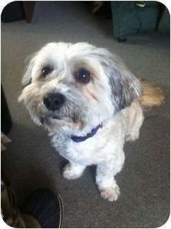 Shih Tzu Mix Dog for adoption in Vancouver, British Columbia - Teddi - Adoption Pending