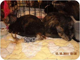 Domestic Shorthair Kitten for adoption in Riverside, Rhode Island - Elon