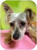Chihuahua/Lhasa Apso Mix Dog for adoption in pasadena, California - pierre