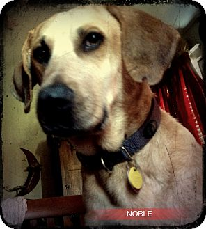 Coonhound/Great Pyrenees Mix Dog for adoption in Lancaster, Pennsylvania - Noble Fischer