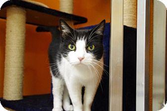 Domestic Shorthair Cat for adoption in Elyria, Ohio - TumTum