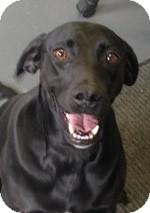 Weimaraner/Labrador Retriever Mix Dog for adoption in St. Louis, Missouri - Chelsea