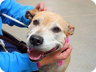 American Staffordshire Terrier Mix Dog for adoption in Long Beach, New York - Dahmu