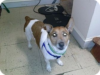 Jack Russell Terrier Dog for adoption in Blue Bell, Pennsylvania - Scamp