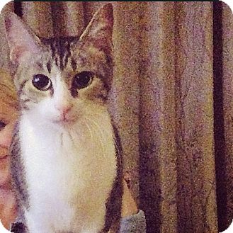 Domestic Shorthair Cat for adoption in Nashville, Tennessee - Olive