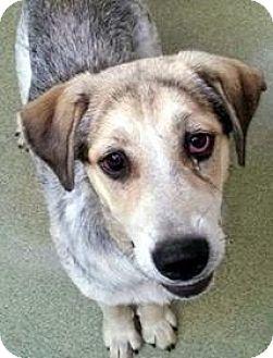 Catahoula Leopard Dog Mix Dog for adoption in Virginia Beach, Virginia - Miranda