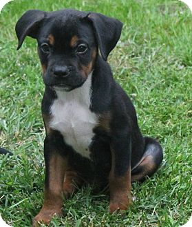 Rottweiler/Boxer Mix Puppy for adoption in North Olmsted, Ohio - Hawke