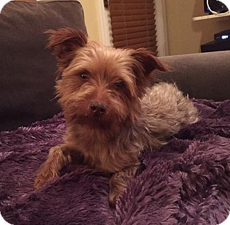 Yorkie, Yorkshire Terrier Dog for adoption in Chicago, Illinois - Nash