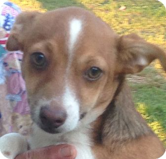 Dachshund/Chihuahua Mix Puppy for adoption in Plainfield, Connecticut - Happy