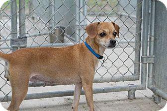 Chihuahua Dog for adoption in Napoleon, Ohio - CoCo