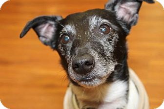 Jack Russell Terrier/Terrier (Unknown Type, Medium) Mix Dog for adoption in London, Ontario - Stanley
