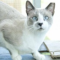 Siamese Cat for adoption in Thibodaux, Louisiana - Buzz FE2-9333