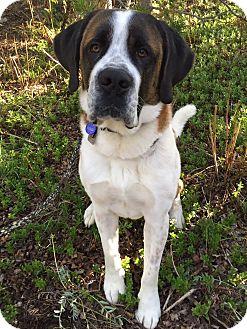 St. Bernard Dog for adoption in Denver, Colorado - Emmit