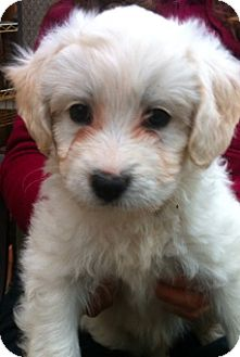 Poodle (Miniature) Mix Puppy for adoption in Simi Valley, California - Crush