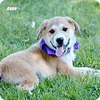 Adopt A Pet :: Reno pending adoption - Manchester, CT
