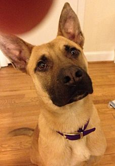 German Shepherd Dog Mix Dog for adoption in Sterling, Virginia - Clark Kent 4089