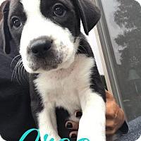 Adopt A Pet :: Oreo - Westminster, CO