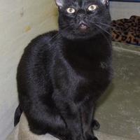 Adopt A Pet :: Pyewacket - Westville, IN