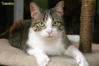 Domestic Shorthair/Domestic Shorthair Mix Kitten for adoption in Vinton, Iowa - Valentino