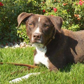 Labrador Retriever/Australian Cattle Dog Mix Dog for adoption in Grand Island, Nebraska - Zeus