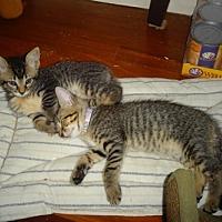 Adopt A Pet :: Creme Brulee&Chocolat Love Bug - New York, NY