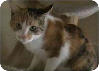 Calico Cat for adoption in Columbiaville, Michigan - Coleen