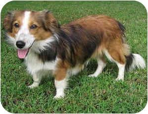 Sheltie, Shetland Sheepdog/Corgi Mix Dog for adoption in La Habra, California - Gala