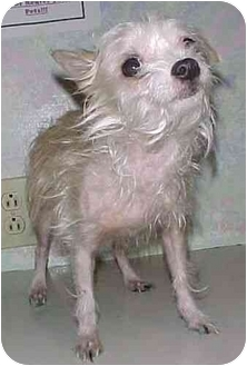 Chihuahua Dog for adoption in North Judson, Indiana - Tinkerbell