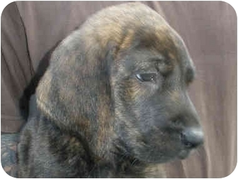 Plott Hound Mix Puppy for adoption in Broadway, New Jersey - Troy